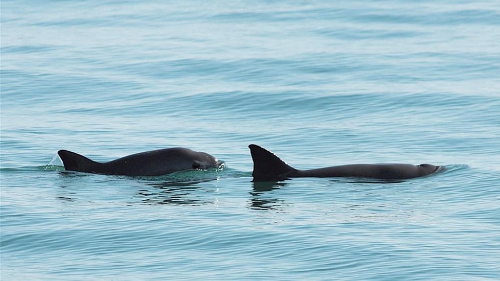 México trabajará con ONGs para preservar hábitat de vaquita marina - Dos ejemplares de la vaquita marina. Foto de EFE/ Secretaría de Medio Ambiente y Recursos Naturales.