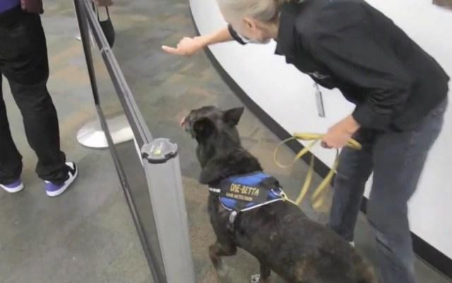 Cobra y One-Betta, las detectoras de covid-19 en el aeropuerto de Miami