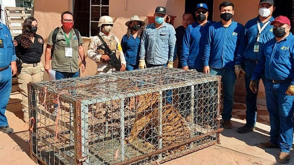 Encuentran tigre de Bengala en propiedad de Pitiquito, Sonora - Encuentran tigre de Bengala en propiedad de Pitiquito, Sonora. Foto de EFE