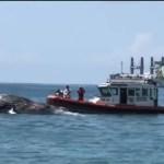 Hallan en Manzanillo, Colima, a ballena jorobada muerta
