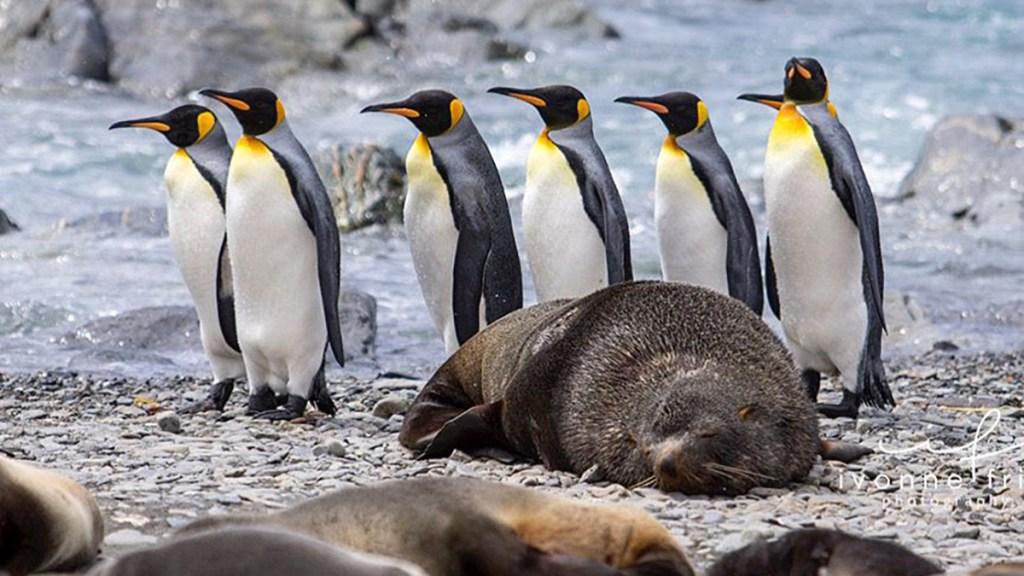 Mis amigos los pingüinos de la Antártida, por Ivonne Frid - Pingüinos en la Antártida