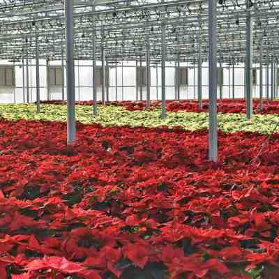 Bachman's Poinsettia Greenhouse Tour