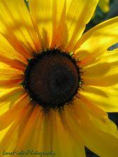 yellow flower maroon heart WM