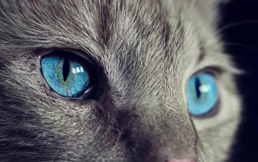 Photo d'un chat en zoom illustrant le chat comme animal totem en chamanisme