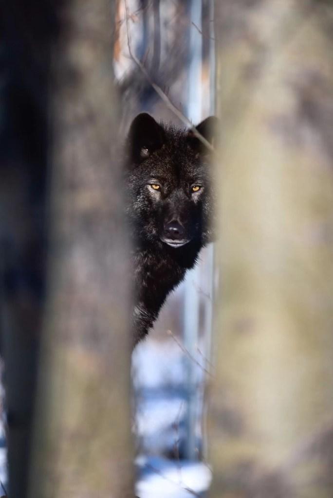 Photo d'un loup noir, un animal totem peu commun qui pousse au changement.