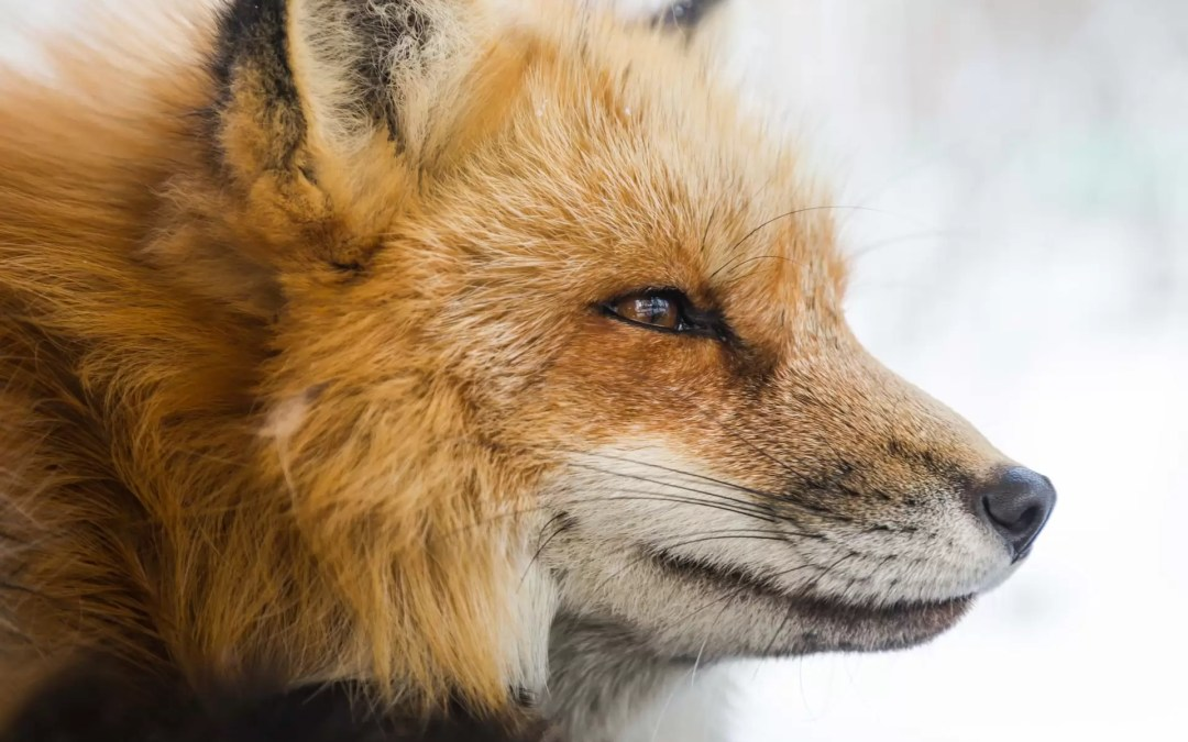 Le renard, un animal totem vif et rusé