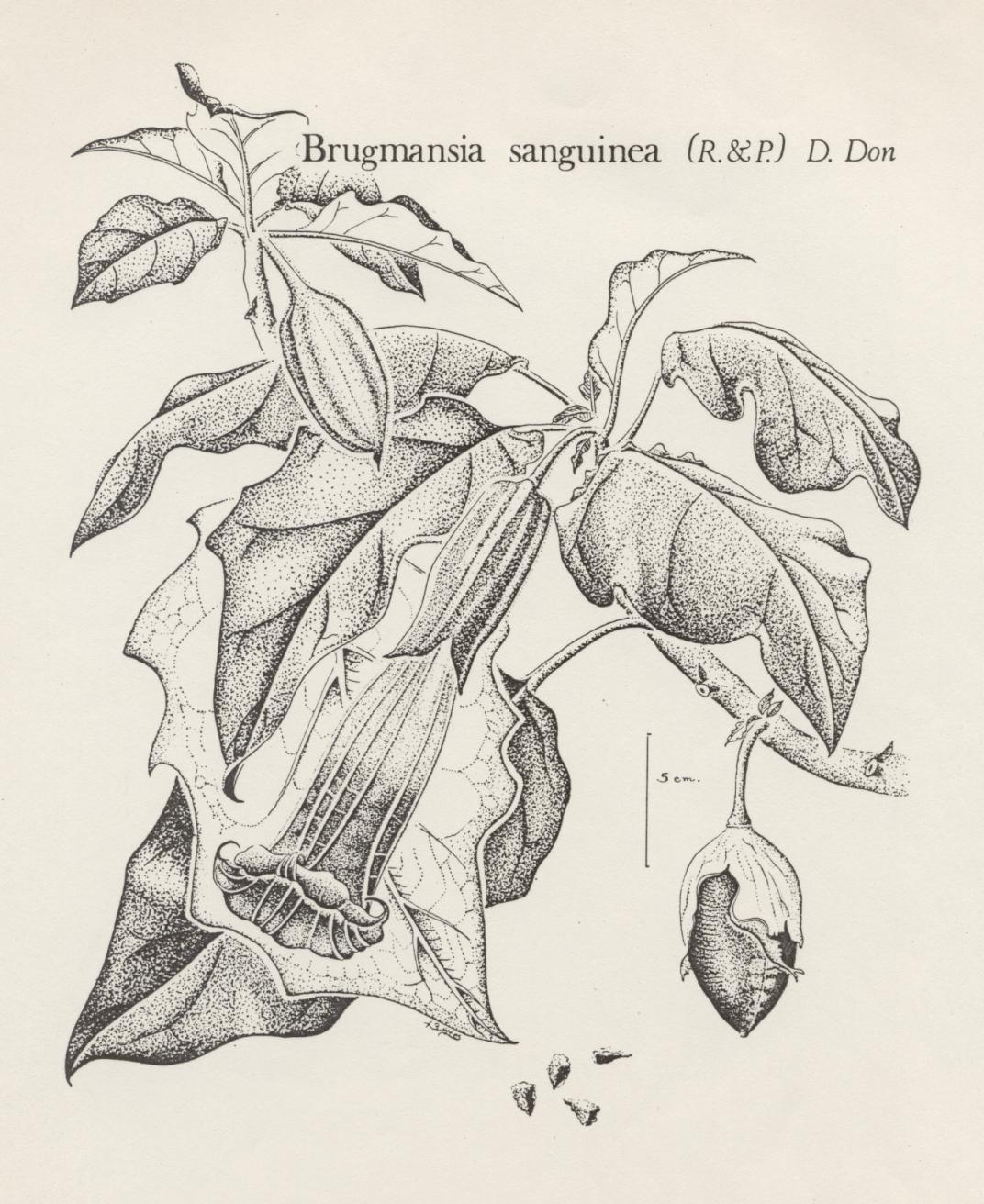 two examples of brugmansia