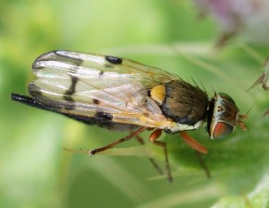 Picture-winged Fly (Urophora stylata)