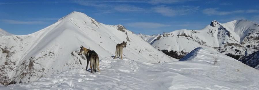 chien-loup-tchecoslovaque-montagne