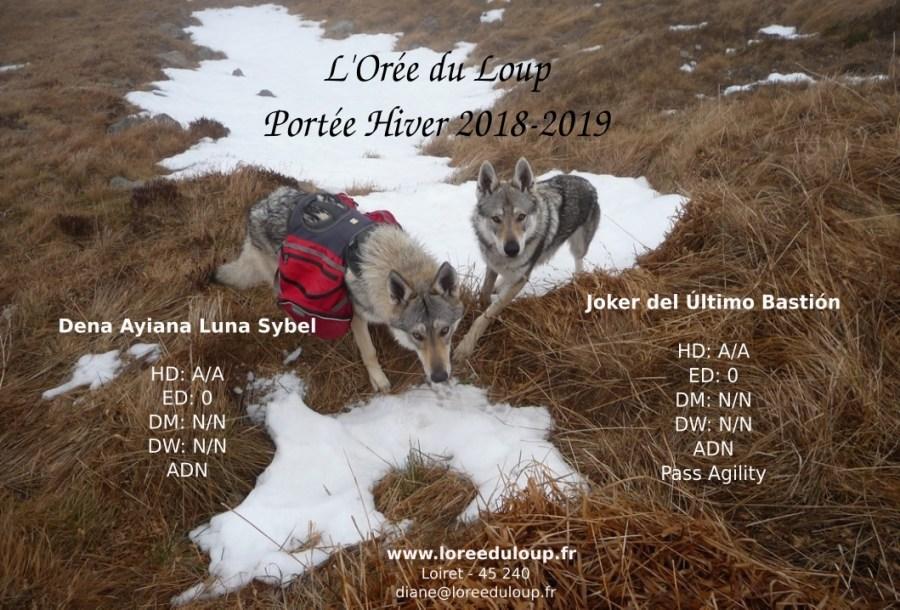 chien-loup-tchecoslovaque-portee-2018-l-oree-du-loup