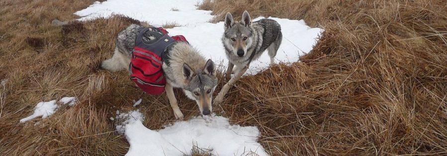 chien-loup-tchecoslovaque-l-oree-du-loup-trek