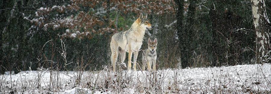 chien-loup-l-oree-du-loup