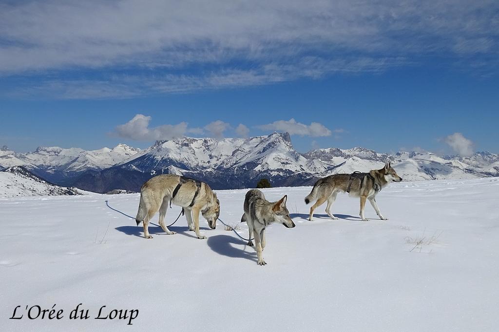 chien loup tchecoslovaque randonnée