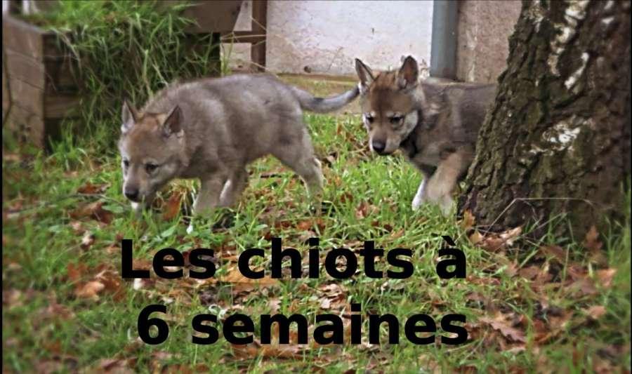 chiot-l-oree-du-loup-6-semaines