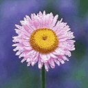 Avatar 128 pixel of a flower