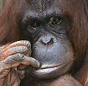 Avatar 128 pixel of an orangutan