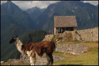 Lama près de la maison du garde (au fond), construction type wayrona avec seulement 3 murs