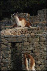 llamas near the kallanka (big hall with a lot of entrance where festivities were celebrated)