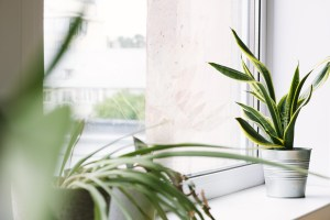 Sansevieria home plant stands in a flower pot on the windowsill. Home plants care concept. Decorative plant for home