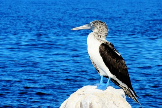 A blue footed booby looks out at the Sea of Cortez.
