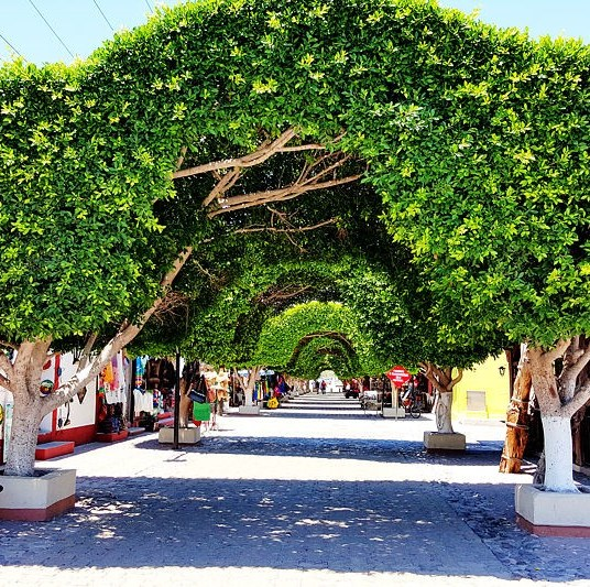 Fig trees form an archway over a cobblestone street in town.