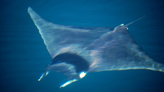 Manta Rays swim in, jump and slap at the Sea of Cortez.