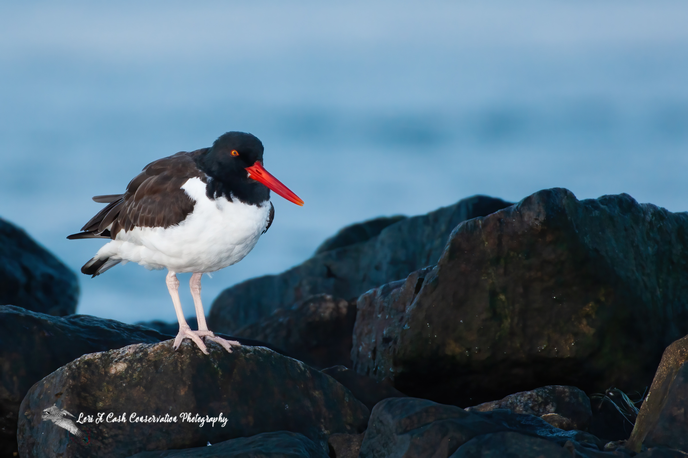 American oystercatcher standing on the rocks overlooking the oyster beds off the Chincoteague Causeway on the Eastern Shore of Virginia.