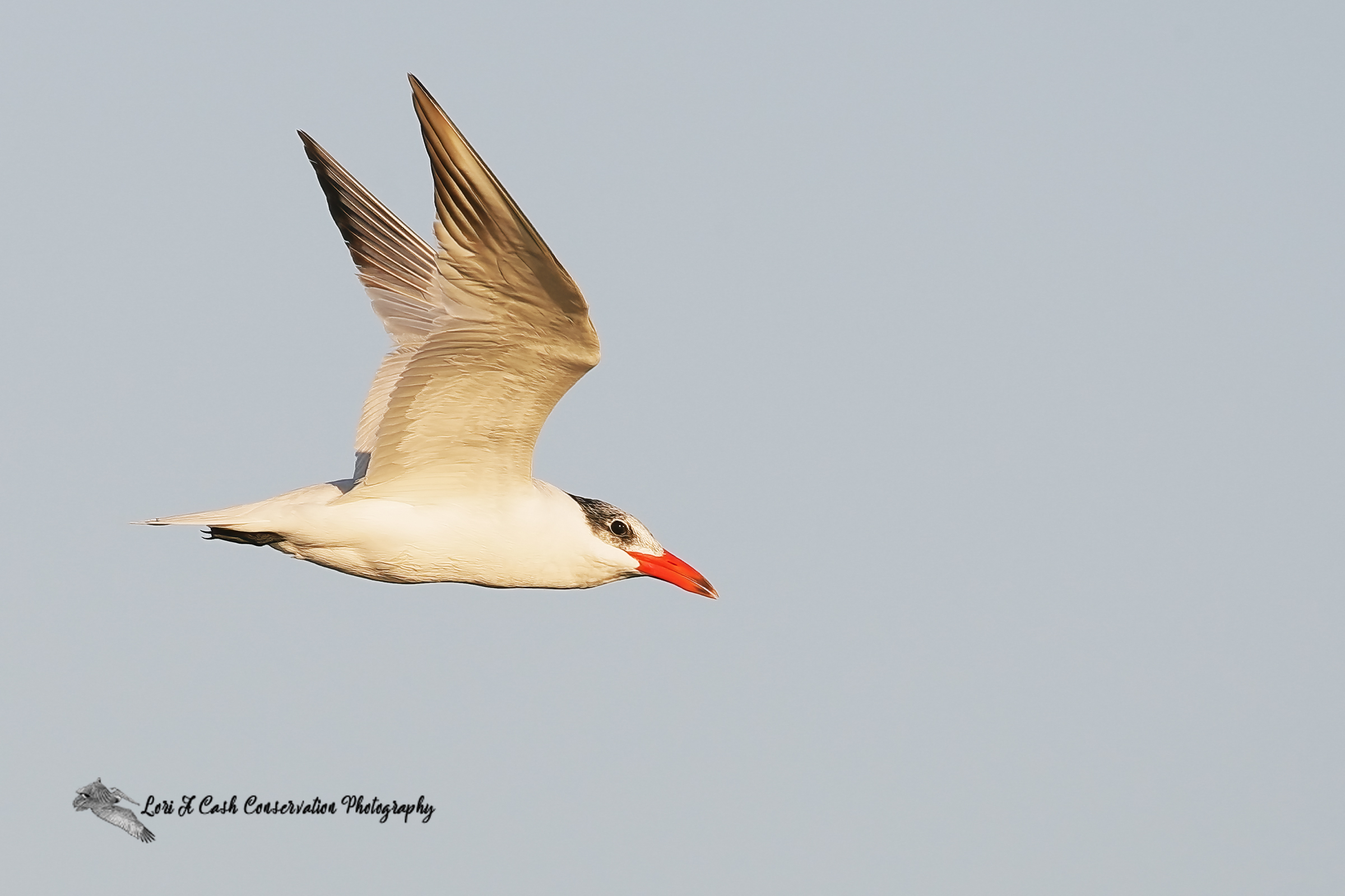 Caspian tern in winter plumage flying in the sky over Pea Island National Wildlife Refuge on the Outer Banks of North Carolina.