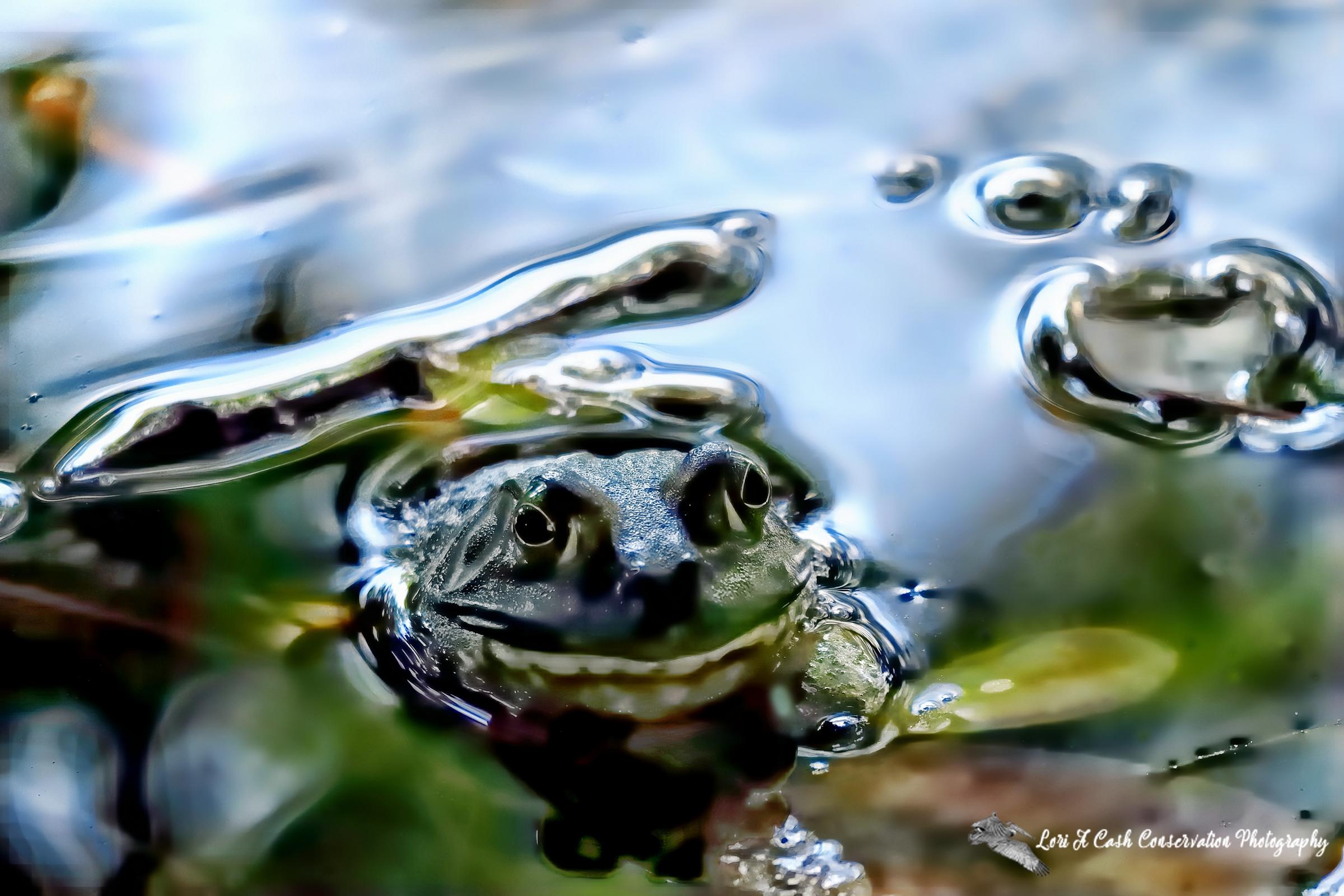 American bullfrog floating in the pond among leaves at Norfolk Botanical Garden in Norfolk, Virginia.