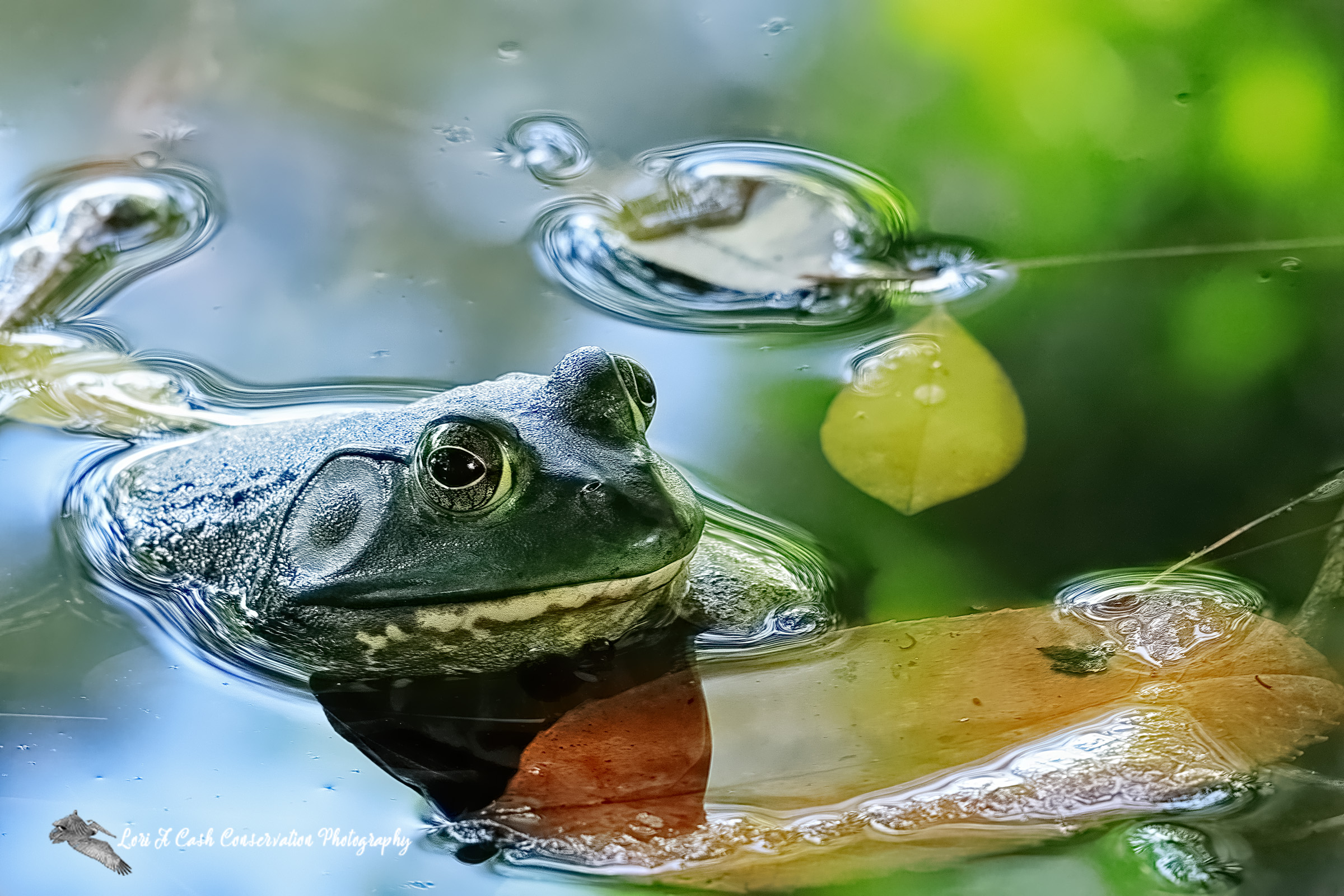 American bullfrog in the pond with leaves at Norfolk Botanical Garden in Norfolk, Virginia.