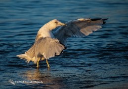 Colonial Waterbirds Photo Gallery of Lori A Cash Conservation Photography.