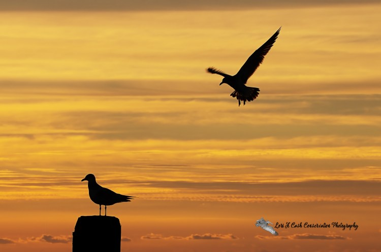 Pair of gulls silhouetted against the colorful orange sky of the sunrise at Buckroe Beach in Hampton, Virginia.