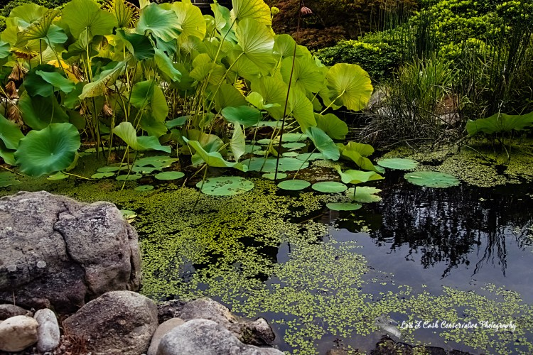 Scene of a waterlily pond with waterlilies pads in water with rocks along the edge of water at Norfolk Botanical Garden in Norfolk, Virginia.