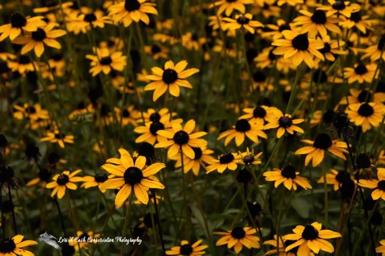 Bunch of black-eyed Susan flowers in bloom at the Norfolk Botanical Garden in Norfolk, Virginia.