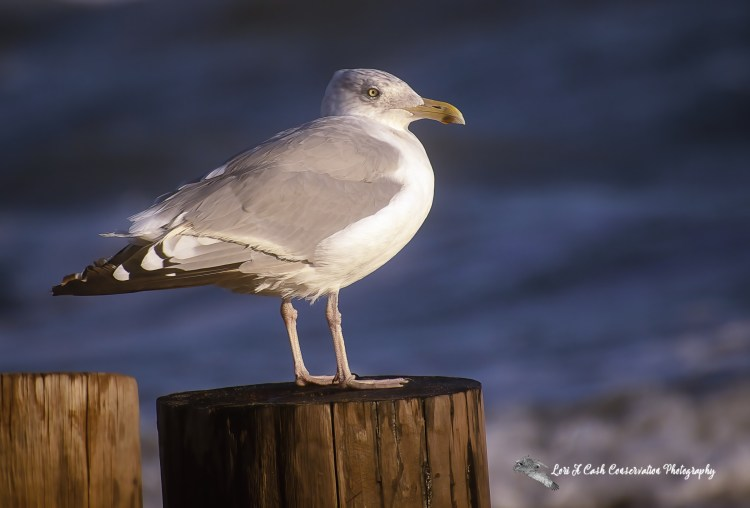 Herring gull standing on post looking out at the water at the Community Beach in Ocean in Norfolk, Virginia.
