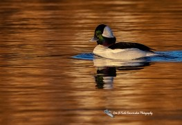 Migratory Birds Photo Gallery of Lori A Cash Conservation Photography.