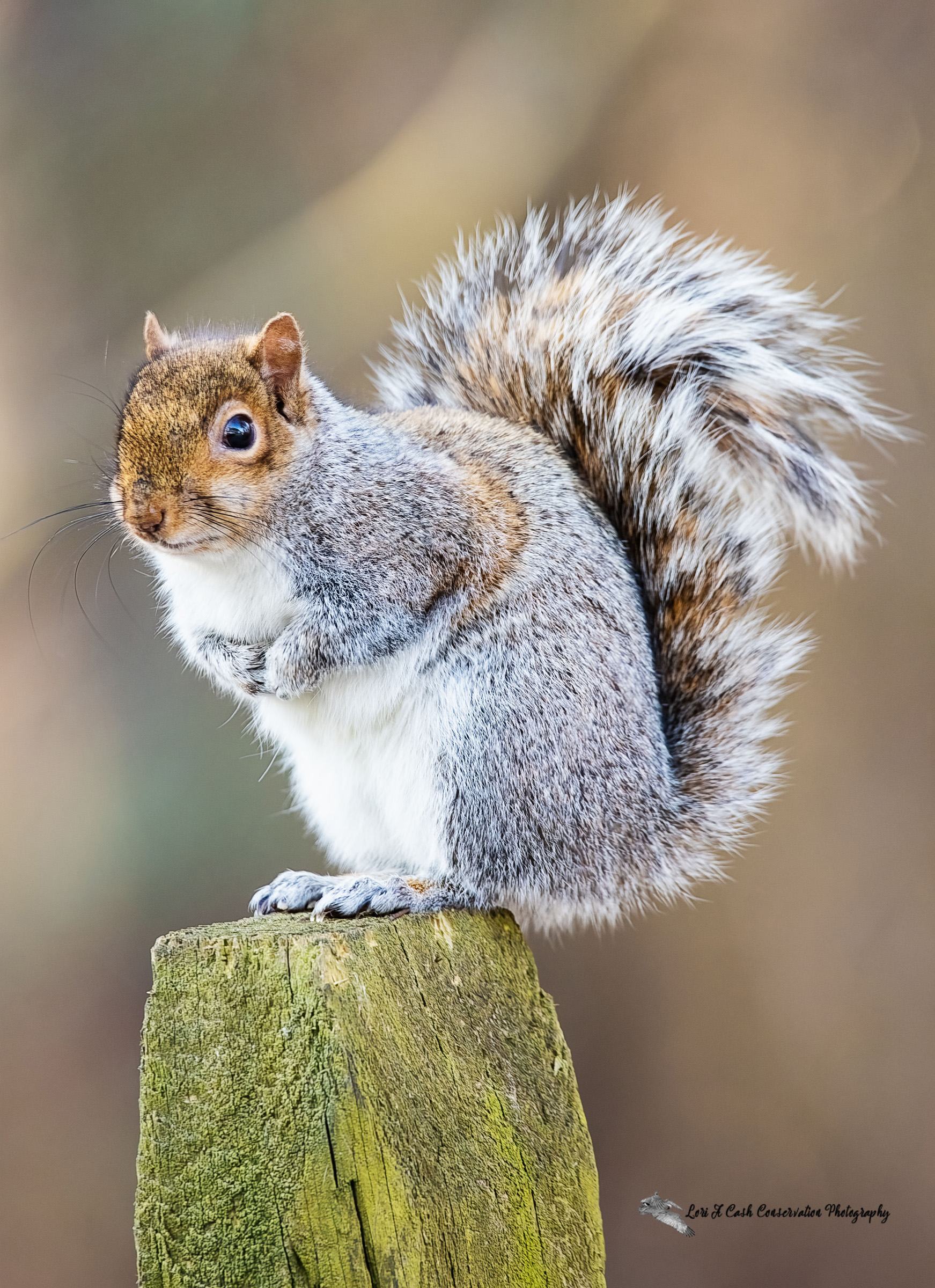 Eastern gray squirrel standing on a fence post at Sandy Bottom Nature Park in Hampton, Virginia.
