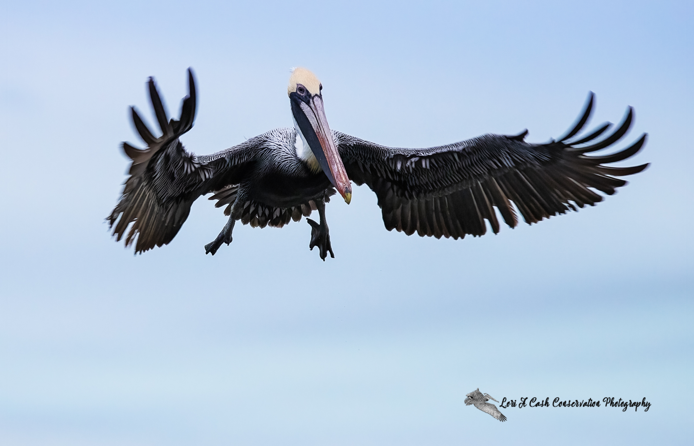 Adult brown pelican descending from the air as it gets ready to land on the pilings in Mill Creek at the Phoebus Waterfront Park in Hampton, Virginia.