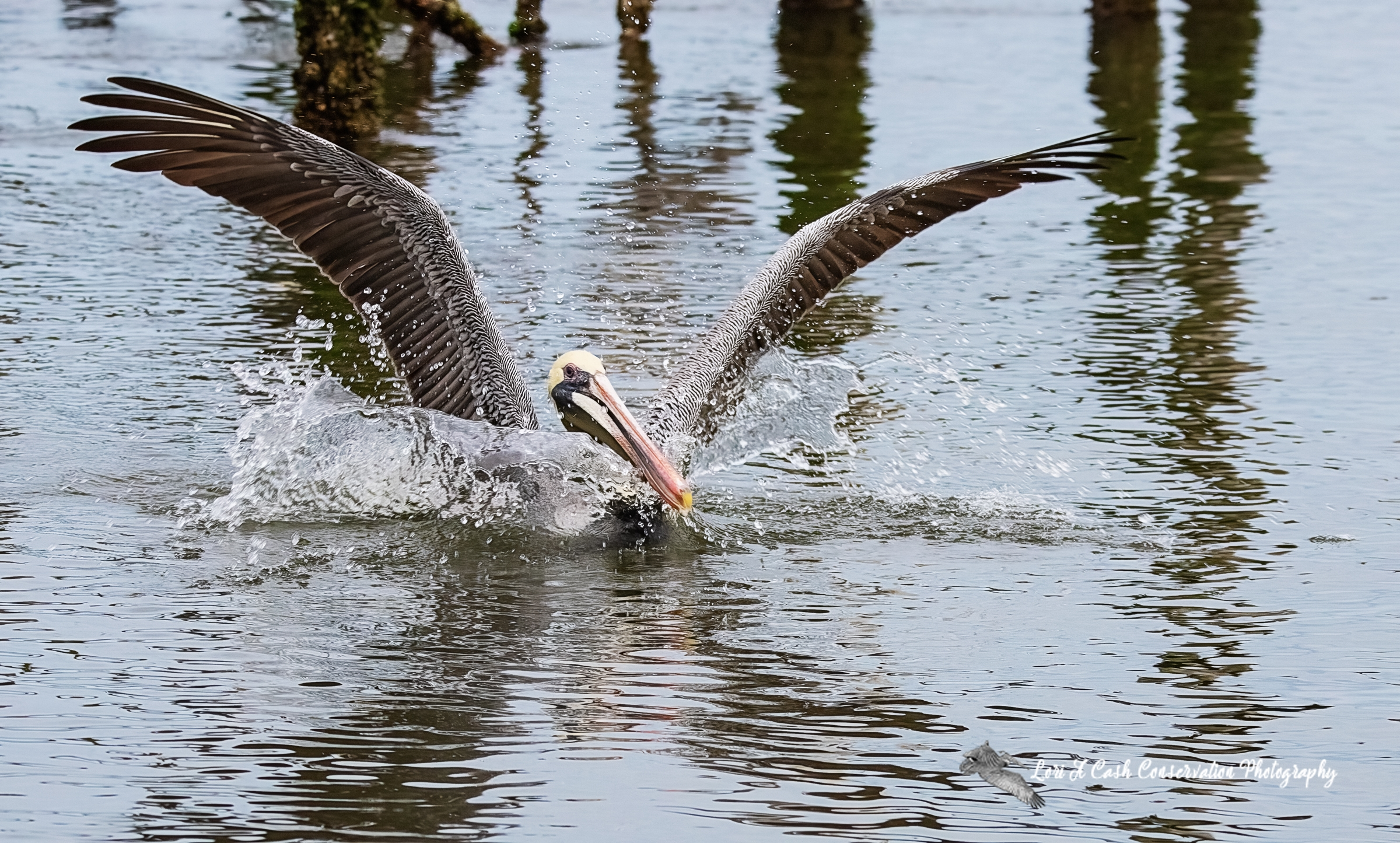 Adult brown pelican landed in the water near the pilings in Mill Creek at the Phoebus Waterfront Park in Hampton, Virginia.