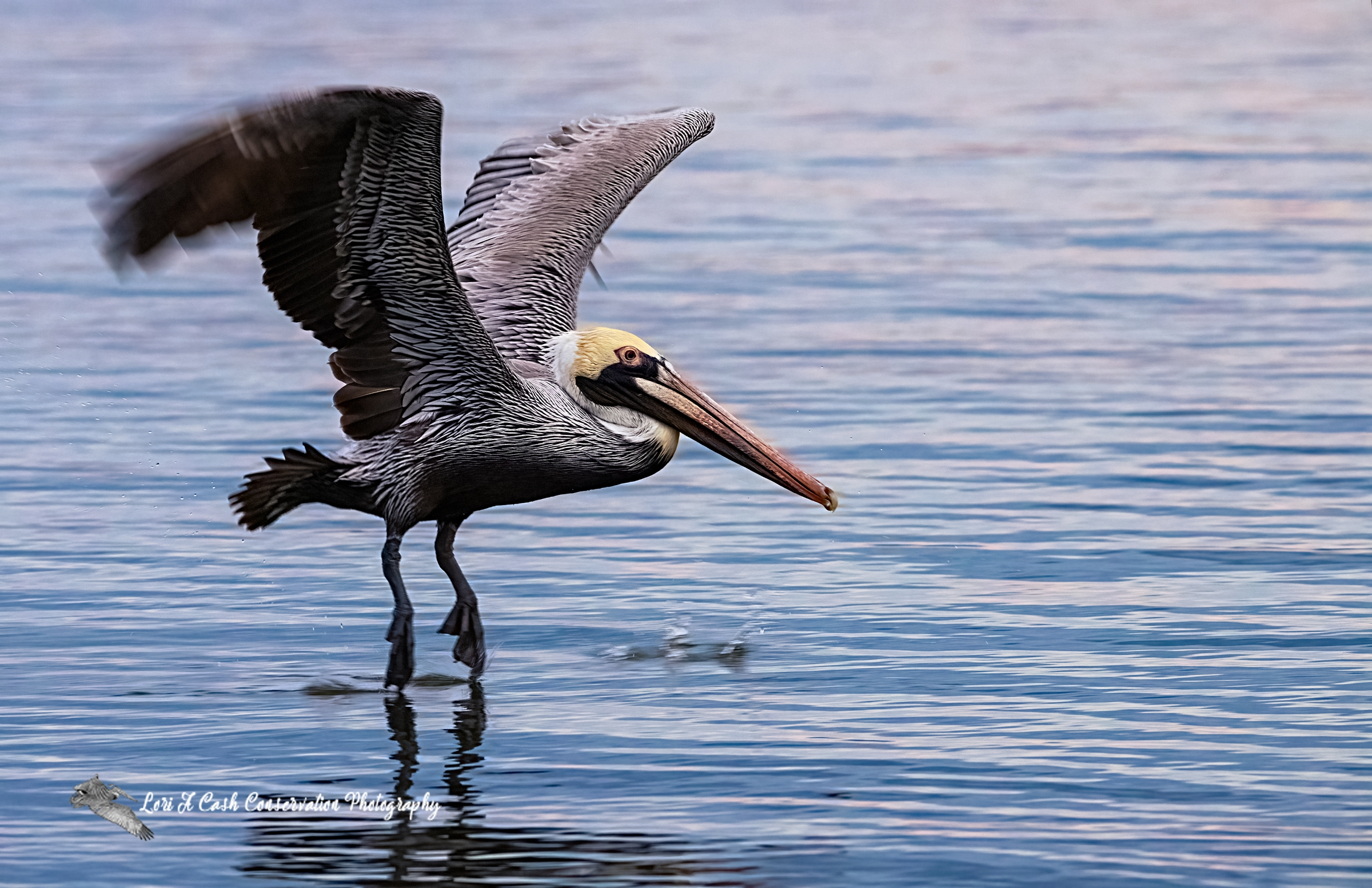 Adult brown pelican skimming the water with its feet as it flies over the water in Mill Creek at the Phoebus Waterfront Park in Hampton, Virginia.