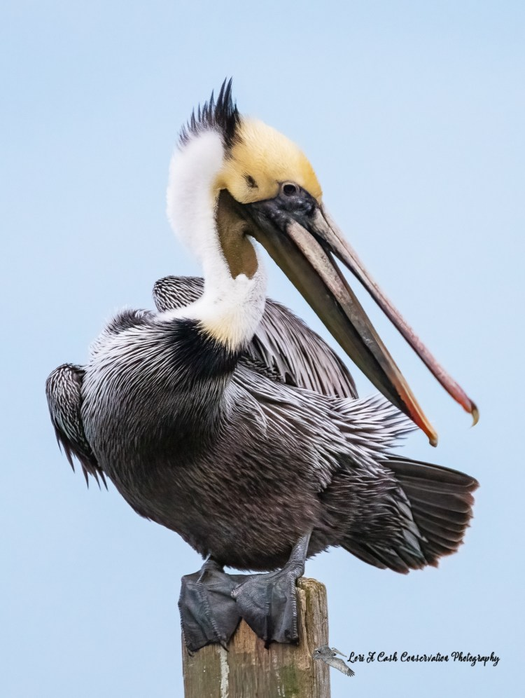 Brown pelican changing from winter plumage to breeding plumage while the pelican is preening itself.