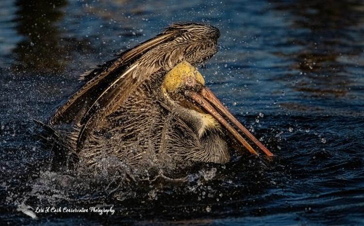 Adult brown pelican bathing in the water in Mill Creek at Phoebus Waterfront Park in Hampton, Virginia.