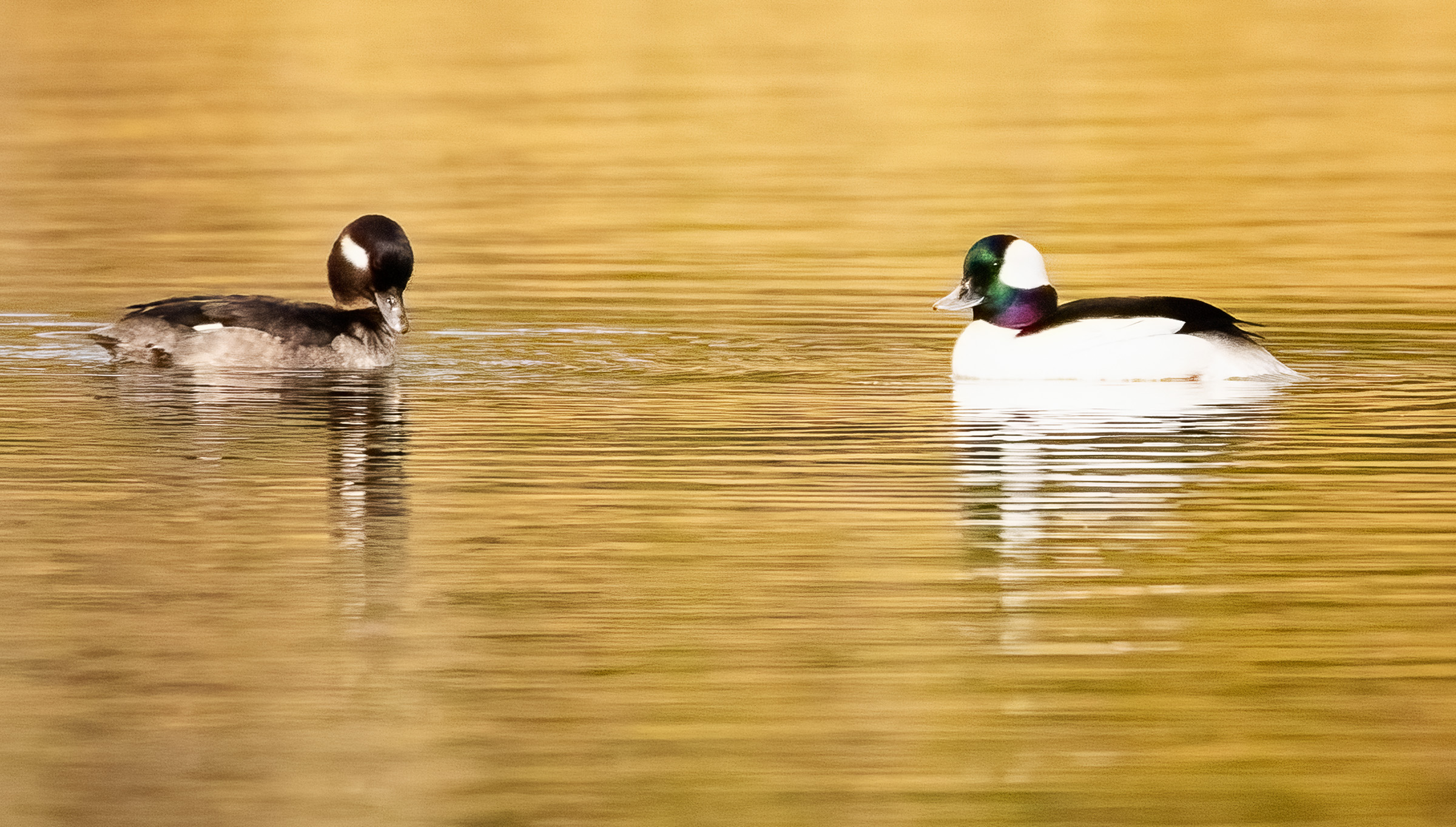 pair of buffleheads looking at each other in the waters of the golden light.
