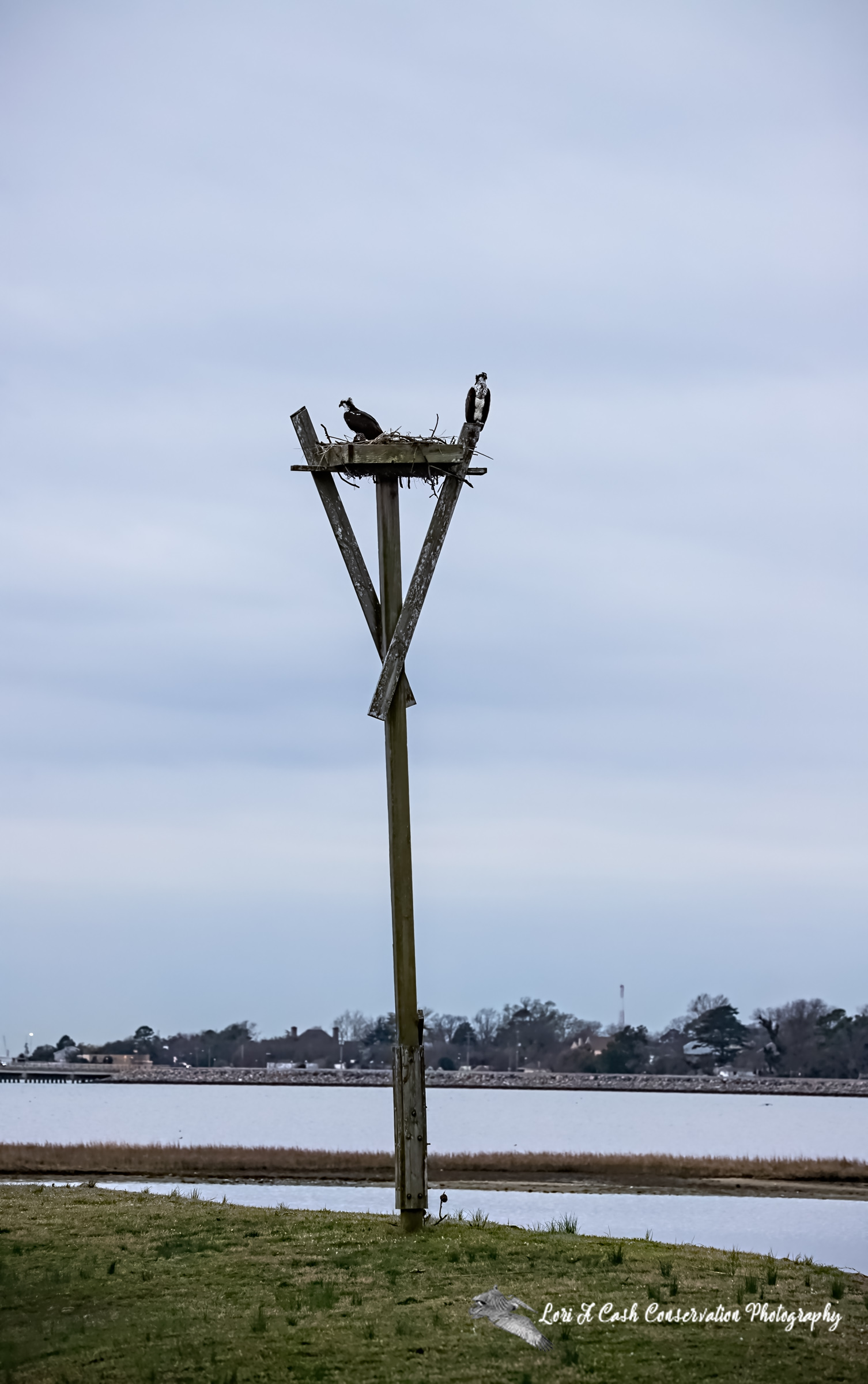 Osprey nest platform with osprey on nest along the edge of Hampton River at Fort Monroe National Monument in Hampton, Virginia.