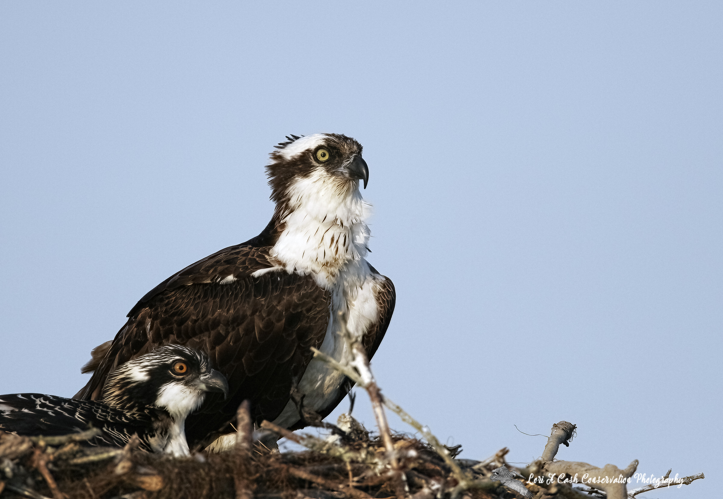 Osprey with one chick at the nest of twigs on a day board in the Currituck Sound in Poplar Branch, North Carolina.