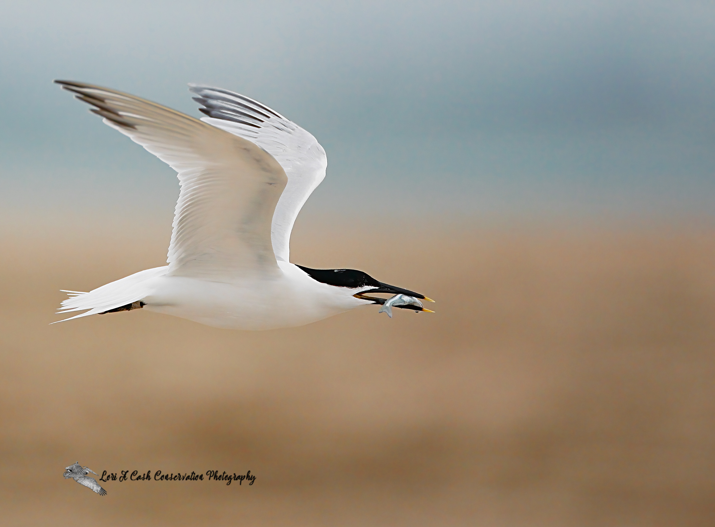 Sandwich tern in flight with a small fish in its bill as it flies over the beach at Cape Point on the Cape Hatteras National Seashore on the Outer Banks of North Carolina.