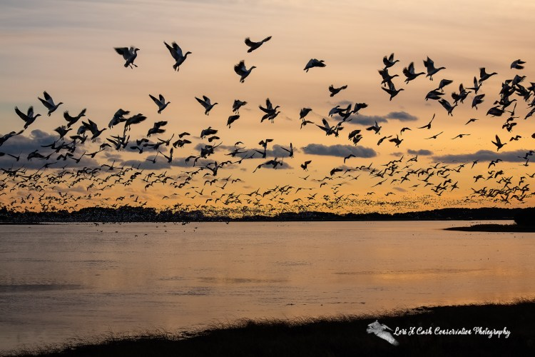 Flock of snow geese twirling around in the air above the water at Snow Goose Pool as they get ready to land in the water for roosting for the evening at Chincoteague National Wildlife Refuge on the Eastern Shore of Virginia.