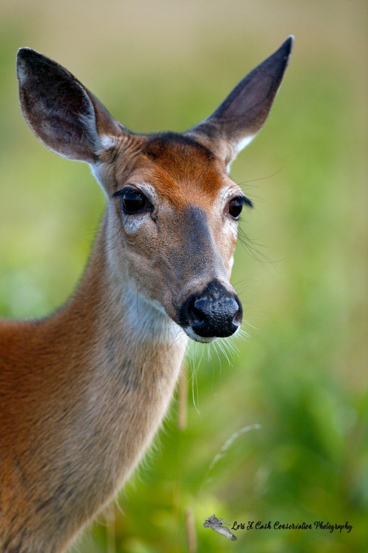 Up close portrait of a white-tailed deer at Big Meadows in the Shenandoah National Park in Virginia.