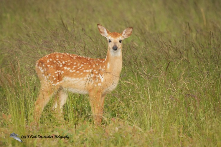 A white-tailed deer fawn standing in the grass in Big Meadows in the Shenandoah National Park in Virginia.