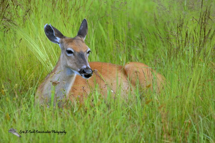 White-tailed deer sitting in the grasses at Big Meadows in the Shenandoah National Park in Virginia.
